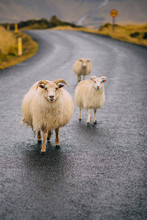 Three Icelandic Goats Stand On The Road.