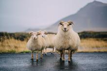 Three Icelandic Goats Stand On...