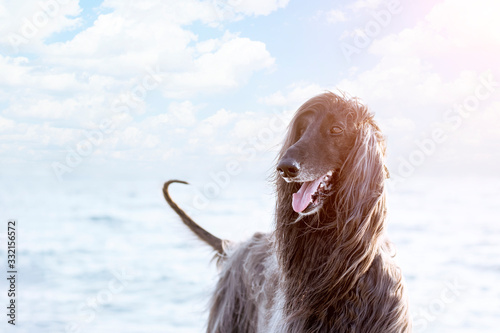 Photo Portrait of a dog of the breed Afghan Hound close-up on a background of the sea