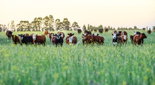 Cattle In Argentine Countrysid...