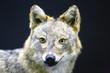 Head of golden jackal wild dog