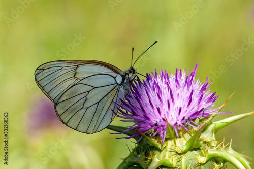 Pieridae, Hawthorn Butterfly, Black-veined White, Aporia crataegi, Asia Turkey Canvas Print