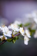 canvas print picture Close up of white cherry flower