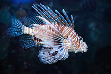 Pterois Volitans. Red Lionfish...