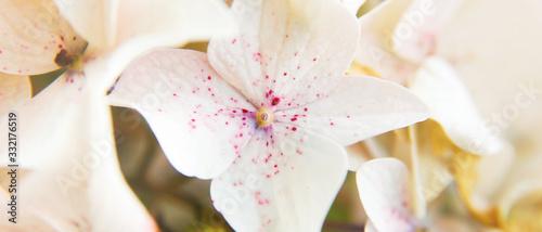 Banière de fleur d'hortensia blanc et rose pâle centré Canvas Print