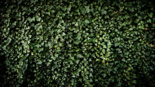 Green Wall With Leaves, Ecolog...