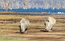 Two White Rhinos On The Banks Of Lake Nakuru, Kenya