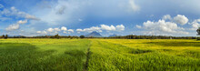 Panorama Of A Green Rice Field...