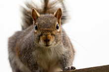 Grey Squirrel Looking At The C...