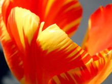Orange And Yellow Tulip Close Up