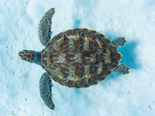 Green Sea Turtle Swimming Above White Sandy Ocean Floor