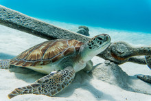 Sea Turtle Chilling On The Bottom Of A Blue Ocean On The Sandy White Ocean Floor Near An Anchor