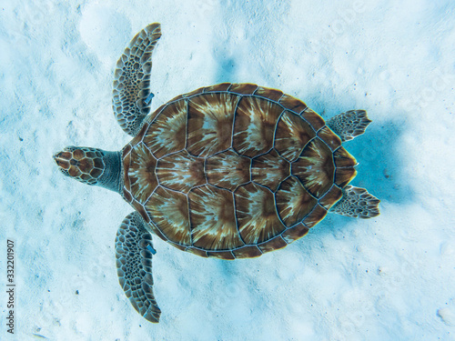 Fototapeta Green sea turtle swimming above white sandy ocean floor