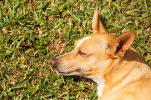 Profile Of A Sleeping Podenco ...