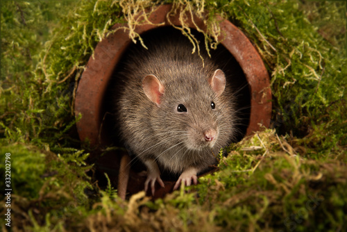 Vászonkép A close up portrait of the head and face of a rat as it emerges from a drainpipe