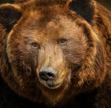 Detail Face Brown Bear