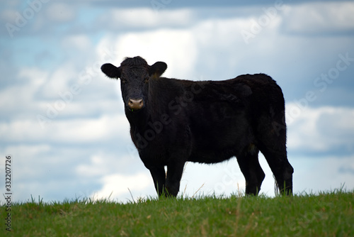 Photo A black angus cow on the top of a hill with a blurred sky in the background