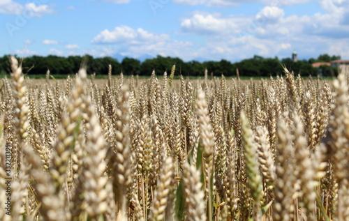 Vászonkép campo di grano in primavera