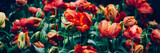 Fototapeta Tulips - Close up of blooming flowerbeds of amazing orange parrot tulips during spring. Public flower garden, Netherlands. Dark moody photo