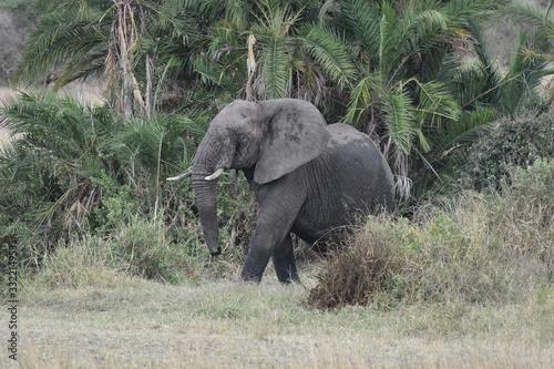 African elephant in Serengeti National Park, Tanzania