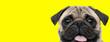 pug dog looking at camera with tongue out happy