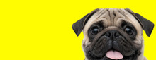Pug Dog Looking At Camera With...
