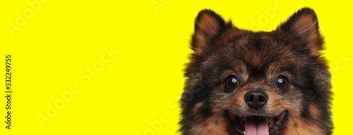 Fototapeta spitz dog with brown fur sticking out tongue happy obraz
