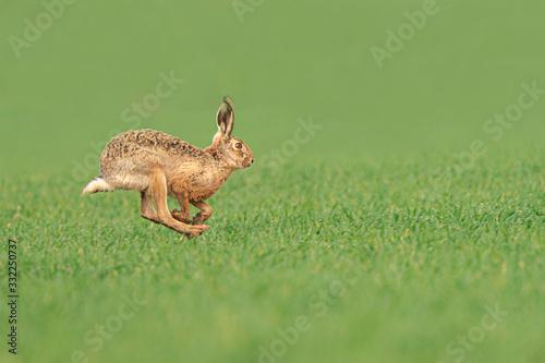 Canvas-taulu Wild European Hare ( Lepus Europaeus ) Close-Up On Green Background