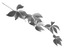Branch Of Grapes Leaves (Parth...