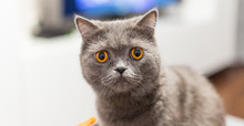 Portrait Of A Grey Cat With Amber Eyes On Blue Background