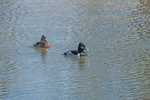 A Ring Necked Duck In A Wetlan...