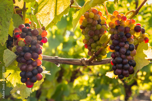 bunches of backlit Pinot Noir grapes ripening in organic vineyard Canvas Print