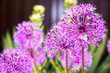 canvas print picture - purple garlic flowers with bees