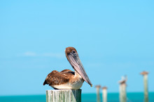Brown Pelican Resting Over The Sea