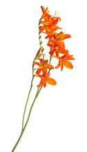Crocosmia Flower Orange Isolated On White Background. Creative, Flat Lay, Top View