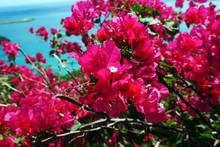 Pink Bouganvilla Flowers And Blue Aqua Coast Line On St. Thomas. US Virgin Islands
