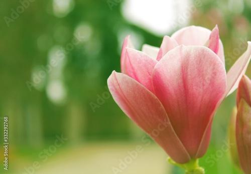 Tela hermoso tulipán rosa en el jardín con bello y suave bokeh, soft, hermoso, flor,