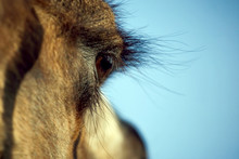 Close Up Eye Of A Camel Mammal
