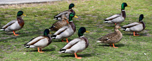 Assorted Ducks On Grass In Park