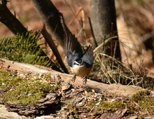Red Breasted Nuthatch Taking O...