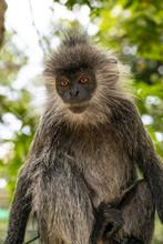 Silvery Lutung Monkey Cambodia