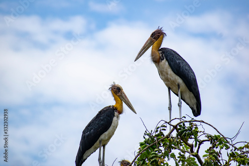 Photo Lesser adjutant stork birds of Cambodia