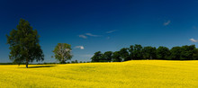 Panorama Of Yellow Rapeseed Crop With Trees And Blue Sky
