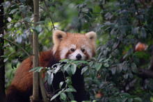 Red Panda In Trees In Sichuan China