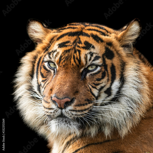 Tiger with a black background Wall mural