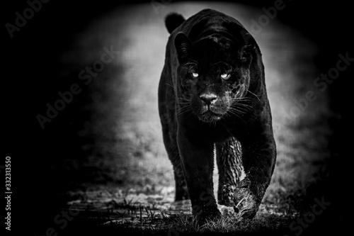 Plakaty zwierzęta   black-jaguar-with-a-black-background