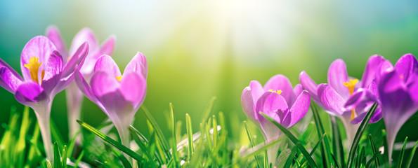 Crocus Spring Flowers