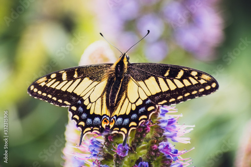 Close up of Western Tiger Swallowtail (Papilio rutulus) resting on a flower, San Wallpaper Mural