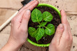 green sprout seedling with leaves in a pot protected with hands