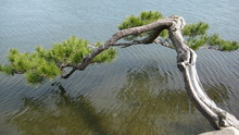Japanese Pine Tree Over Water
